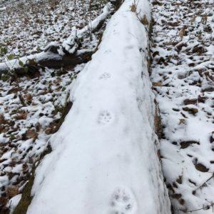Tracking_fox